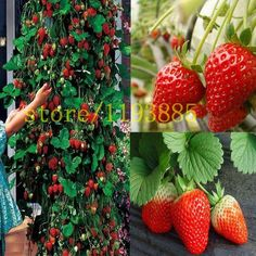 [Visit to Buy] 500 pcs climbing strawberry seeds Climbing Red Strawberry Seeds With SALUBRIOUS TASTE * NON-GMO Strawberry Mount Everest* EDIBLE #Advertisement
