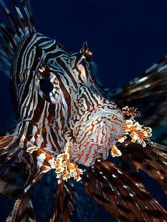 Lionfish close-up | Flickr - Photo Sharing!