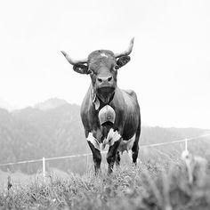 Kühe in Europa: Wer ist die Schönste im ganzen Land? | Lebensart | ZEIT ONLINE