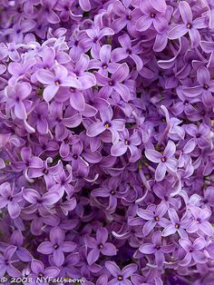 Purple Lilacs...growing up we had some by the kitchen window...open the window and it was heaven <3