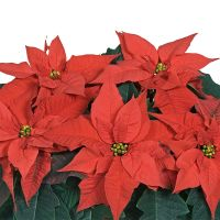 Poinsettia - Elsner PAC - englisch - Mira Red