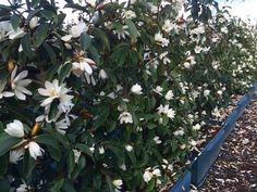 The Fairy Magnolia® White. Flowering starts in August in NZ. Bright Front Doors, Valley Nursery, Hedging Plants, Growing Plants, Topiary, Hedges, Curb Appeal, Magnolia, Backyard Ideas