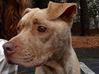 Adoption-Coco-3yr. old Female Golden brindle Pitbull~She is located in Marietta, GA. I've had the pleasure of taking her to the park a couple of times & wish I could take her myself!