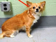 TO BE DESTROYED 01/27/16***NEW HOPE ONLY*** When will people realize that pets are not toys? They are living, breathing beings with feelings. They require care, love, training and socialization. Bella Marie seems to have found herself in the care of people who just did not get it. They never took her to the vet or bothered to house train her. They never taught the children in the home the proper respect or to recognize the signals that she did not feel like playing with them. On a positive s...
