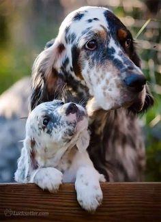 Большие Собаки, Собаки И Щенки, Милые Собаки, Собачки, Фото Собак, Фотографии Собак, Щенки Английского Сеттера, Охотничьи Собаки, Удивительная Природа