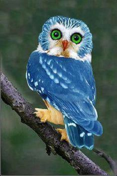 Blue owl in Philippines or photo shop?