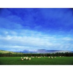 Sheep Grazing In Field County Wicklow Ireland Canvas Art - The Irish Image Collection Design Pics (34 x 26)