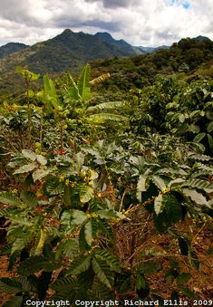 Coffee plants grow along the mountains in Puerto Rico | Richard Ellis