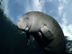 Manatee! My friend and I spent over an hour crying at Sea World when we were five after we found out they were endangered.