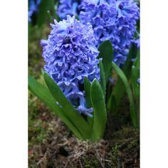 Hyacinth Double Hollyhock