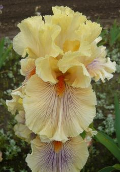 creamy apricot deepening at hafts, overall violet spray pattern; Iris Flowers, Exotic Flowers, Flowers In Hair, Purple Flowers, Flowers Garden, Yellow Roses, Pink Roses, Wonderful Flowers, Beautiful Flowers
