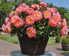 PAEONIA lact. 'Coral Charm' - Silkepæon, farve: orange/halvfyldt/duftende, lysforhold: sol, højde: 80 cm, blomstring: juni - september, velegnet til snit.
