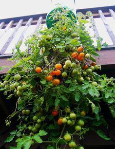 Cómo plantar tomates en botellas de plástico colgantes.