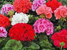 вазони квітучі - Поиск в Google