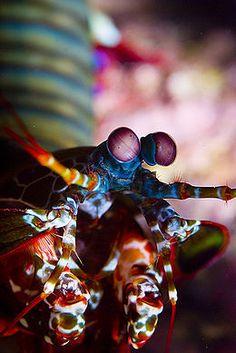 Stomatopoda — Wikipédia