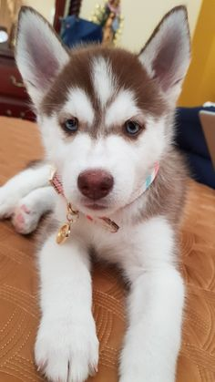 Animals And Pets, Baby Animals, Cute Animals, Cute Puppies, Cute Dogs, Baby Monkey Pet, Red Husky, Deadly Animals, Beautiful Dogs