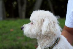 Poodle information and facts you should know!