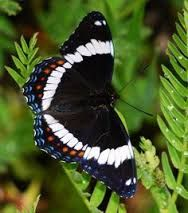 RED-SPOTTED PURPLE - Limenitis arthemis astyanax  . . . subspecies of White Admiral . . . Eastern USA.