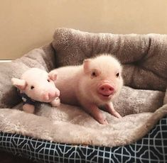 Cute Baby Pigs, Cute Piglets, Cute Babies, Cute Animal Memes, Cute Animal Pictures, Funny Animals, Cute Little Animals, Little Pigs, Teacup Pigs