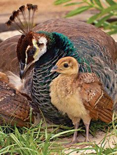 Baby Peacock www.dierenplaza.nl