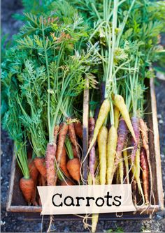 Want to learn more about carrots? Sign up for Jamie Oliver's Kitchen Garden Project at http://www.jamieskitchengarden.org/!