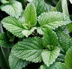 Love mint and plan on adding it to the garden this year. It has the added benefit that it can drive away rodents.
