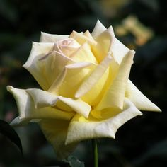 Wonderful Images Hybrid Tea Roses peace Style Hybrid tea is the most ancient list of flowers considered modern backyard roses. They will were made inside 1 Yellow Roses, White Roses, Beautiful Roses, Beautiful Flowers, Mediterranean Garden Design, Peace Rose, Rare Roses, List Of Flowers, Gardens