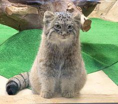 Felis Manul, Pallas's Cat, Beautiful Nature Pictures, Majestic Animals, Animals And Pets, Creatures, Kawaii, Cute, Corner
