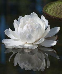 Vitória-régia    Planta aquática amazônica que apresenta uma grande folha em forma de círculo e possui sua borda dobrada, pertence à famíl...