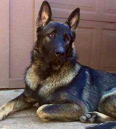 Ayers Legends German Shepherds Kino X-Large Sable Male 12 months old