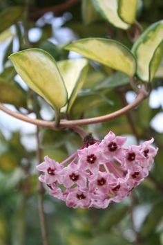 Hoya carnosa 'Tricolor', AKA Porcelain Flower, Wax Flower this is the one I have except the leaves are not veragated