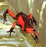 Animals of the Rainforest-Poison-Arrow Frog