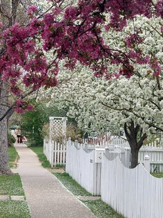 White picket fence with trees in bloom.