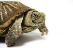 7 things Teddy the ornate box turtle wants you to know about him Blanding's Turtle, Box Turtles, You Have Beautiful Eyes, Sid The Sloth, Nature Center, Pet Store, Black People, Old Things, Pets