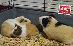 [AAE Cerco casa] Recuperati a fine ottobre, questi tre maschietti si trovavano al freddo e in mezzo al fango insieme ad altre cavie e conigli.   Aspettano solo di essere adottati da chi li amerà per tutta la vita.   adozioni@aaecavie.it