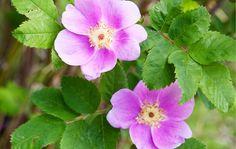"""Luumuruusu """"Ainola"""" Rosa Villosa """"Ainola""""  Ruusulajikkeiden kirjo on värikäs"""