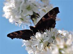 A newly awakened Peacock butterfly by Geoff Emmett.