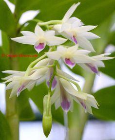 Dendrobium amethystoglossum Rchb. f. 1872