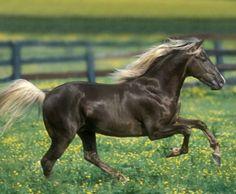 Champion Rocky Mountain Horse stallion, Silver Creek Magnum Silver. Yep, silver mentioned twice. photo: Bob Langrish.
