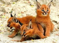 Caracal cats also known as Desert Lynx
