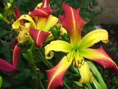 Daylily (Hemerocallis 'Radiation Biohazard') uploaded by mlt