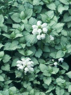 deadnettle (Lamium maculatum) 'White Nancy', mature size 6 inches tall and 3 feet wide, tolerates part to full shade, moist, well-drained soil Dry Shade Plants, Ground Cover Plants, Plants, Planting Flowers, Shrubs, Easy Perennials, Woodland Garden, Garden Shrubs, White Gardens
