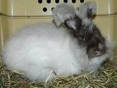 "Our ""Cookie"" - Angora havanna - present rabbit from my daughter"