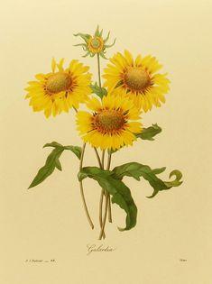 Sunflower Art Print, PJ Redoute Flower Print, Botanical Illustration, Flower Lithograph (9 x 12  Book Plate) No. 44