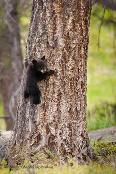Baby bear, #treehug