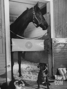 Kelso Named my Maine Coon cat after him 35 yrs ago! Animals Black And White, Horse Posters, Sport Of Kings, Thoroughbred Horse, Horses And Dogs, Racehorse, Maine Coon Cats, Horse Photography, White Photography