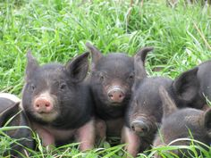 Look at those sweet faces!!!! Snow's Bend Farm - Organic Produce - Pasture Pork