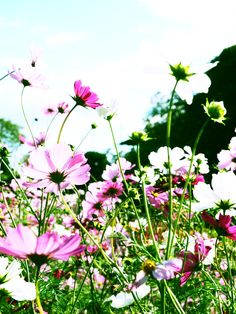 cosmos - a favorite flower