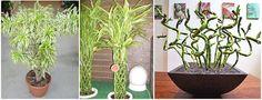 Árbol de serpiente, Bambú de la suerte, Dracaena braunii, Cinta Dracaena, Planta Belga de Evergreen (Dracaena Sanderiana) Esta planta purifica el aire, eliminando sustancias toxicas como el formaldehido y el benceno. Estas plantas son especialmente eficaces en las habitaciones recién alfombradas o con nuevo mobiliario, es cuando los niveles de formaldehido son de más alto nivel. Lucky Bamboo, Green, Plants, Life, Pot Plants, Indoor Plants, Plant Pots, Bias Tape, Plant