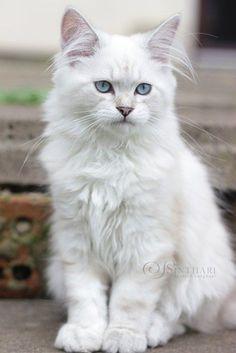 Atreyu von Sinthari, DLH-Kätzchen in seal silver tabby point Pretty Cats, Beautiful Cats, Animals Beautiful, Cute Kittens, Cats And Kittens, Crazy Cats, I Love Cats, Kitten Baby, Cat Breeds List